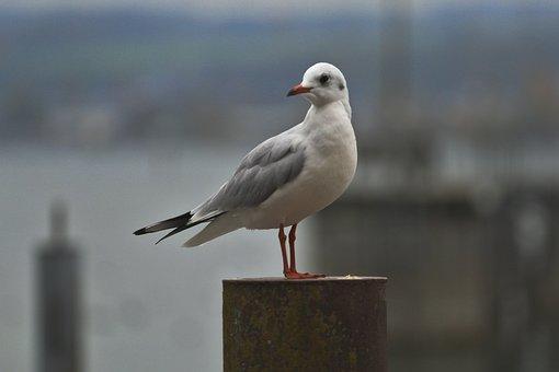 Seagull, Bird, Animal, Autumn