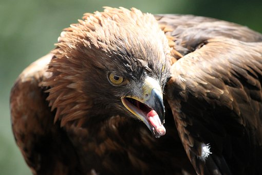 Adler, Bird, Bird Of Prey, Nature, Animal, Raptor