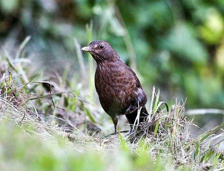 Blackbird, Bird, Nature, Animal, Animal World, Bill