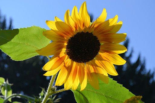 Sunflower, Flower, Yellow, Blossom, Bloom, Plant