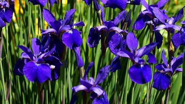 Iris, Lily, Flower, Blue, Blossom, Bloom, Nature, Flora
