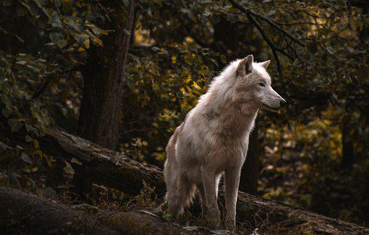 Wolf, Forest, Zoo, Nature, Risk, Trees, Cold