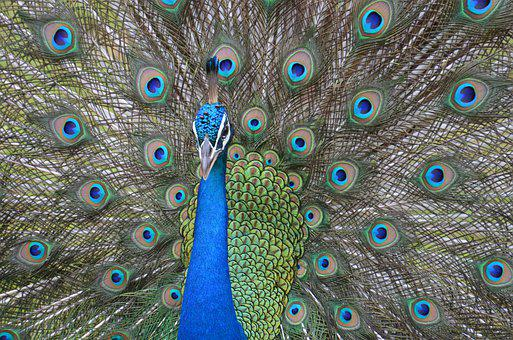 Peacock, Bird, Feather, Nature, Colorful, Animal, Blue