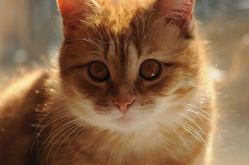 Cat, Redhead, Yellow, Eyes, Watch, Cute, Kitten, Feline