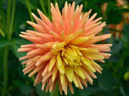 Dahlia, Orange, Yellow, Nature, Bloom, Garden, Blossom