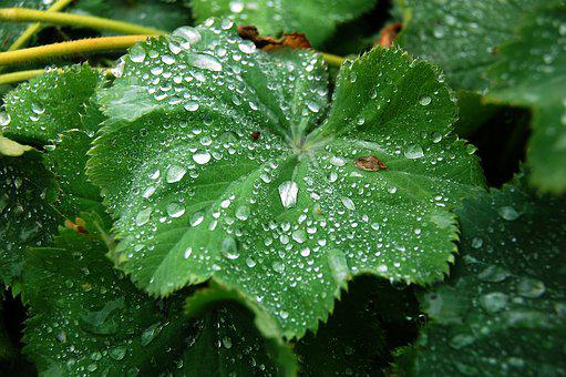 Dew, Lady's Mantle, Plant, Green, Water, Drops