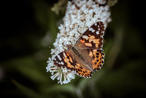 Butterfly, Edelfalter, Orange, Butterflies