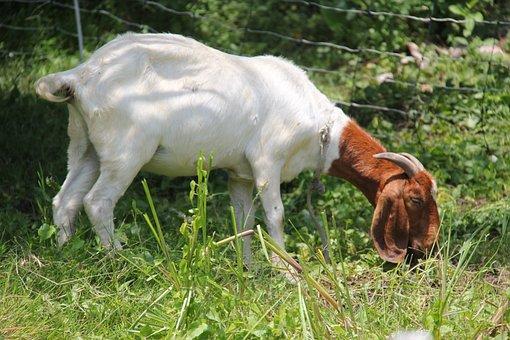 Boer, Goats, Doe, Horns, Farm, Goat, Animal, Pasture