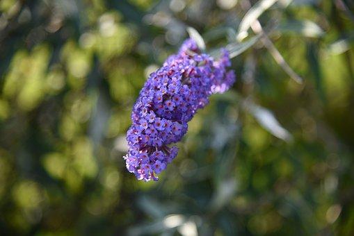 Lilac, Butterfly, Summer, Garden, Flower, Blossom