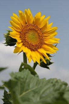 Sunflower, Yellow, Flower, Garden, Nature, Bloom, Sunny