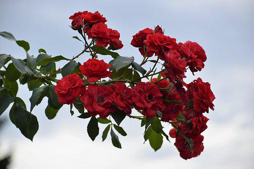Red Roses, Flowers, Blooming, Branch, Sky, Nature