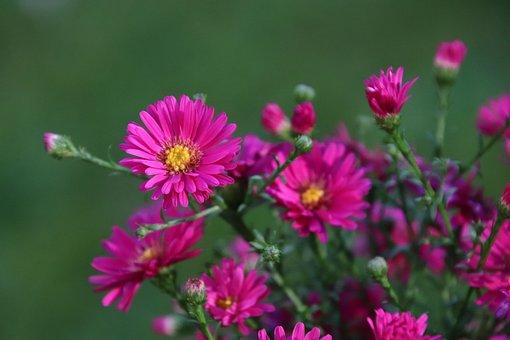 Flowers, Plants, Fuchsia Color, Color Pink, Garden