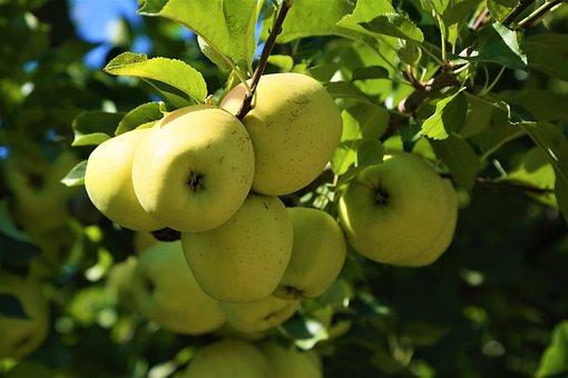 Apples, Fruit, Garden, Healthy, Fresh, Delicious, Food