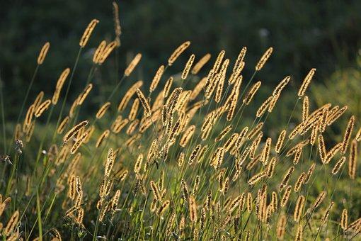 Grass, Meadow, Evening, Backlight, Golden Hour, Summer
