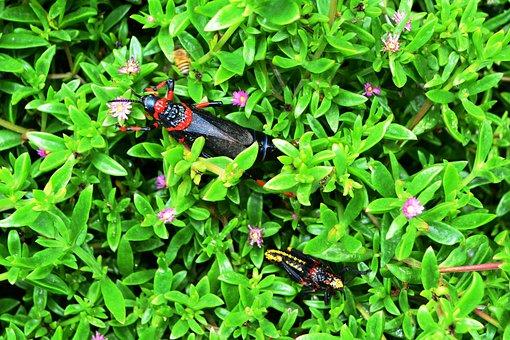 Grasshopper, Koppie Foam, Rooibaadjie