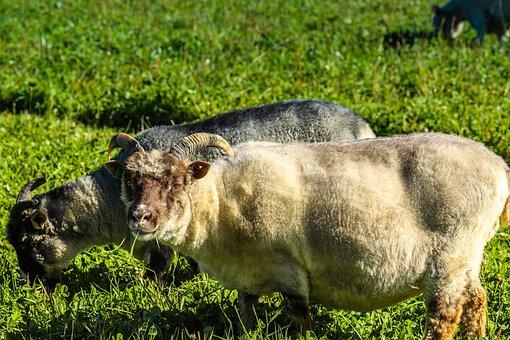 Animal, Sheep, Horn, Livestock, Horns