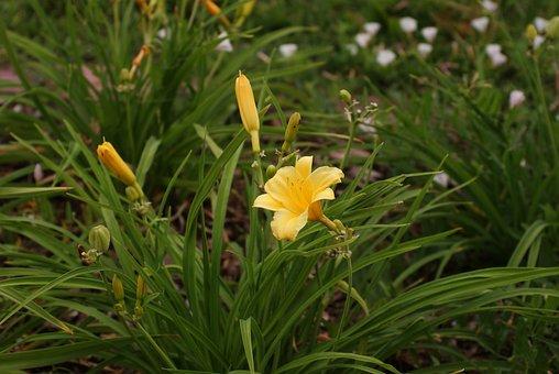 Lily, Flower, Nature, żólta, Garden, Yellow, Summer