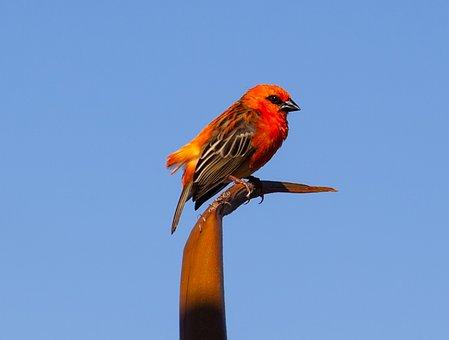 Red Fody, Red Bird, Wild Red Bird, Madagascar Fody