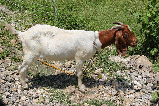 Boer, Goat, Doe, Animal, Mammal, Livestock, Agriculture