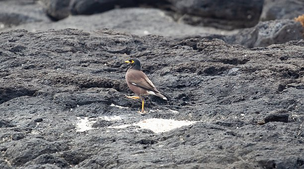 Mauritius Mynah Bird, Indian Myna, Yellow Beak