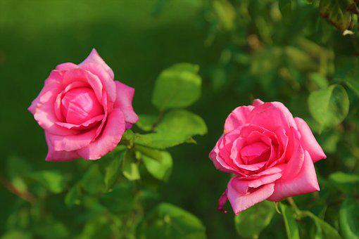 Rose, Nature, Red, Flower, Pink, Love, Romantic, Plant