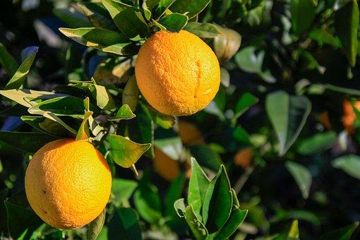 Spring, Orange, Tree, Background, Fruit, Juice, Nature