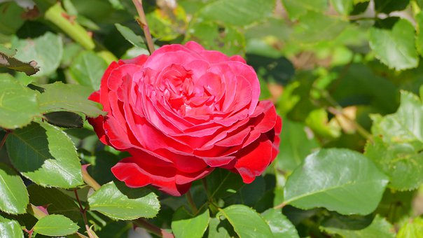 Rose, Red, Summer, Flower, Plant, Beauty, Romantic