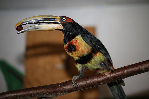 Toucan, Bird, Rainforest, Animal World, Bill, Exotic