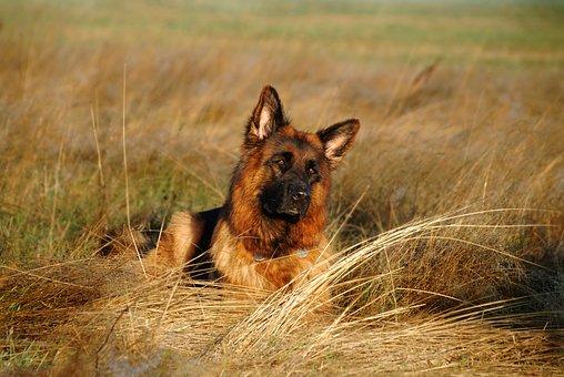 Schäfer Dog, Dog, Sea, Lake, Water, Vacations, Holidays