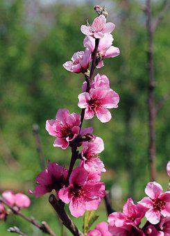 Cherry Blossoms, Blossom, Flowers, Pink, Spring