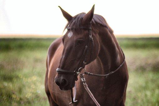 Horse, Brown, Animal, Ride, Stallion, Coupling