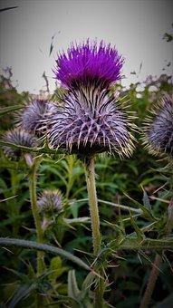 Thistle, Flower, Bloom, Garden, Blossom, Prickly, Flora