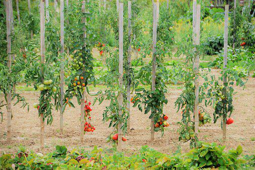 Vegetable Garden, Vegetables, Garden, Nature
