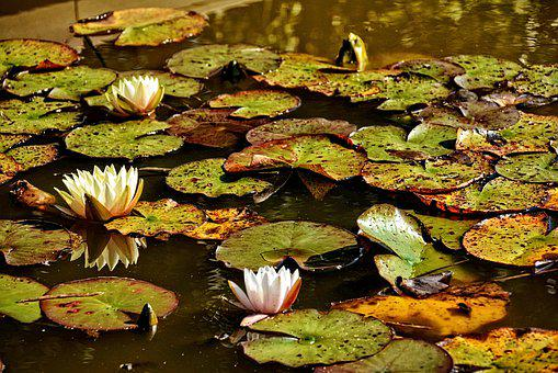 Water Lilies, Fall, Nature, Pond, Landscape, Leaf