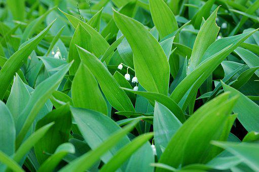 Lily Of The Valley, Plant, Green, White