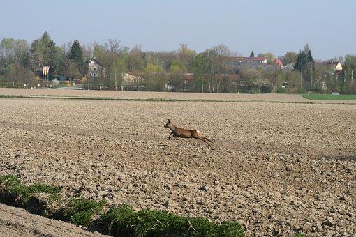 Roe Deer, Wild, Nature, Scheu, Forest, Animal