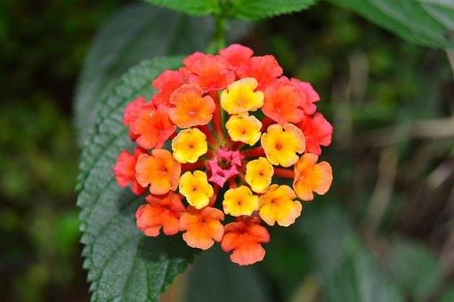 Lantana, Shrub, Verbena, Orange, Yellow, Flower