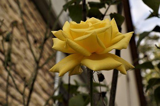 Rose, Yellow, Nature, Flower, Plant, Romantic, Love