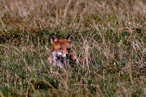 Fox, Predator, Wild, Young, Nature, Fauna, Animal World
