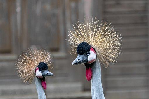 Bird, Grey Crowned Crane, Crane, Color, Beauty, Animal