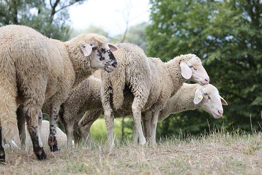 Sheep, Sheepskin, Fur, Flock, Animals, Wool, Pasture