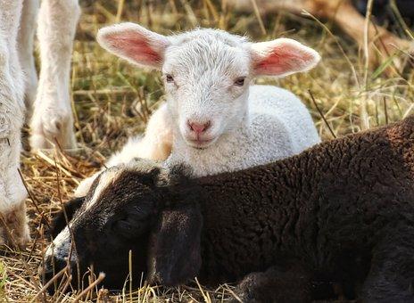 Sheep, Lamb, Wool, Animals, Farm, Farm Animals, Pasture