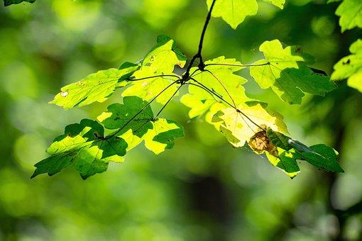 Leaves, Backlit, Leaf, Tree, Light, Green, Color