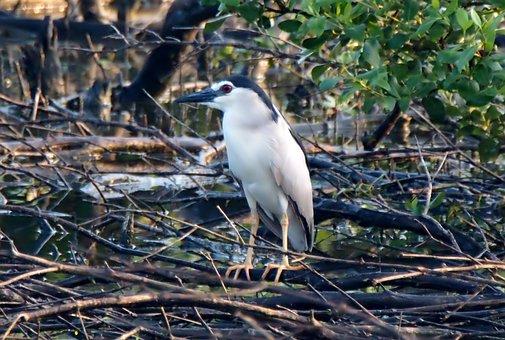 Night Crown Heron, Wild, Bird, Wildlife, Nature