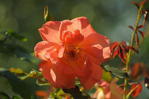 Sunny, Flower, Pink, Light, Yellow, Summer, Bloom, Rose