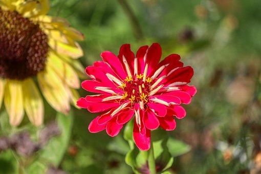 Flower, Sunflower, Red, Blossom, Bloom, Garden, Petals