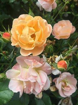 Flower, Roses, Nature, Blossom, Pink, Love, Romantic