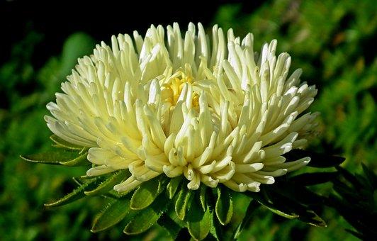 Aster, Flower, Garden, Summer, The Petals, Closeup