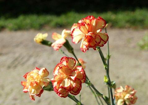 Pink, Flowers, Cloves, Petals, Plant, Greetings