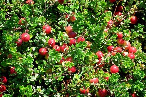 Cranberry, Fruit, Berries, Red, Vitamins, Summer, Food